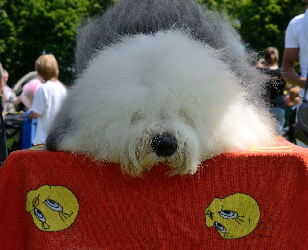 Photo in Animal #dog #animal #nature #old english sheepdog #sheepdog #dog show 2013 #olsztyn #poland