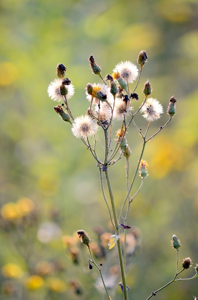 Photo in Nature #meadow #grass #nature #thistle #plant #plants #sun-lihgt #flower #flowers #poland #nikon