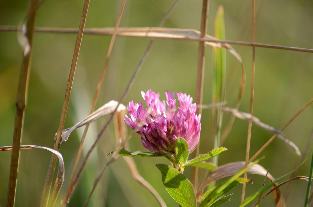 Photo in Nature #flower #trefoil #flowers #plant #plants #nature #meadow #grass #sun-light