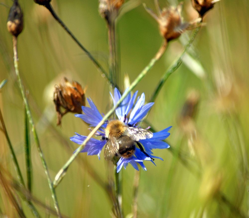 Photo in Nature #bumble-bee #insect #nature #meadow #flower #flowers #blue