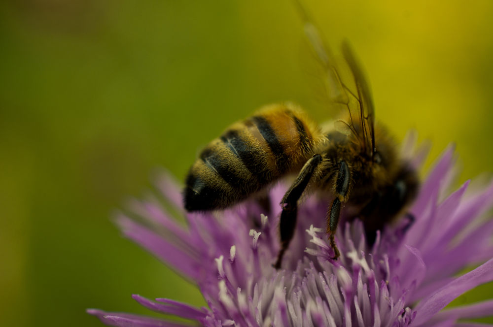 Photo in Macro #bee #nature #macro #insect #colours #light #bokeh