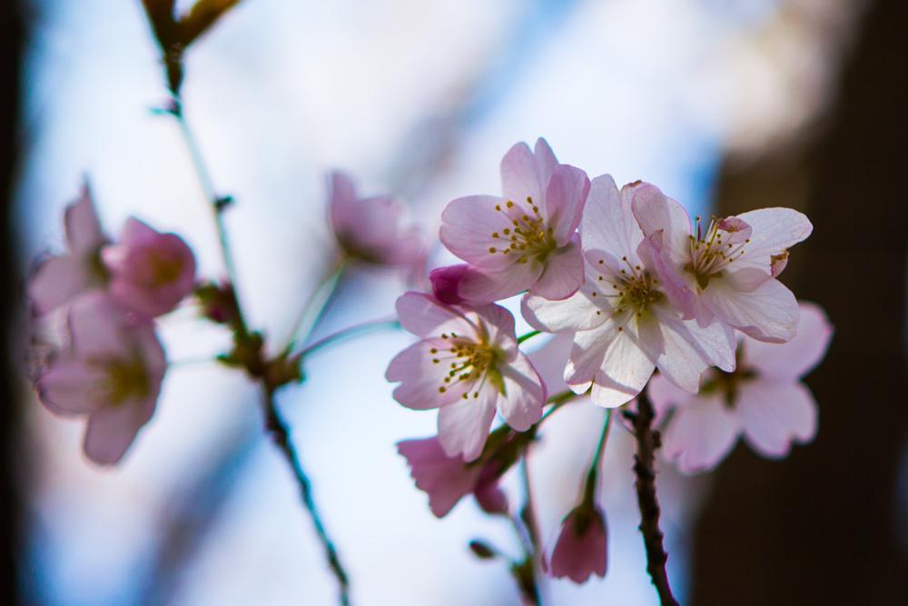 Photo in Macro #cherryblossoms #landscape #spring