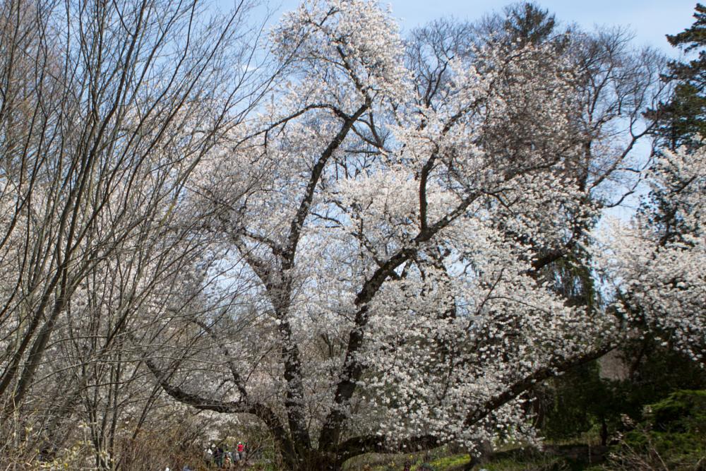 Photo in Landscape #cherryblossoms #landscape #spring