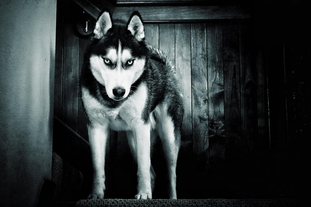 Photo in Animal #dogs #husky #huskies #pets #sleddog #hunterthehusky #siberianhusky