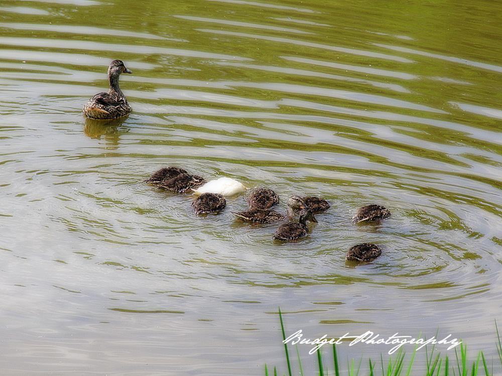 Photo in Animal #ducks #animals #photography
