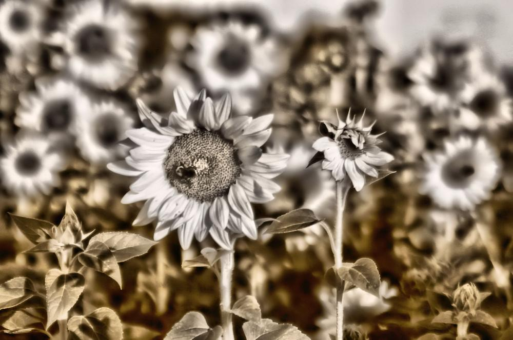 Photo in Black and White #flowers #farm #nature #sunflowers #landscape #black and white