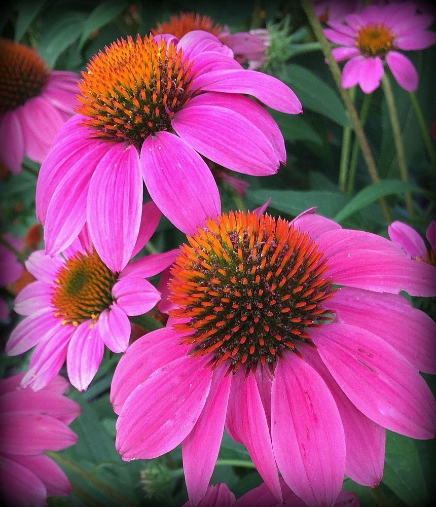 Photo in Nature #flower #flowers #purple coneflower #coneflower #nature #pink #cone flower #plant