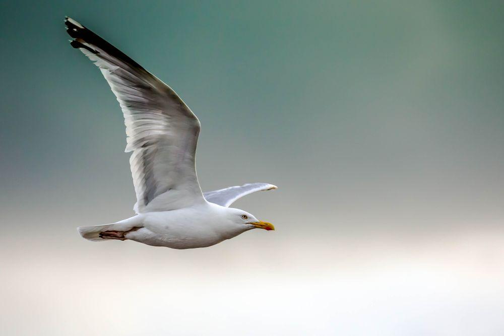 Photo in Animal #freedom #free bird #bird #seagull #sky #flight
