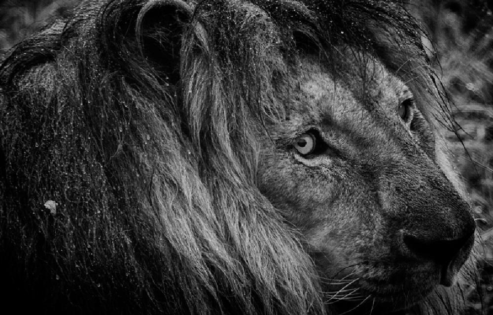 Photo in Animal #lion #animal #misarable lion #wet lion #lion head #lion mane #king of jungle