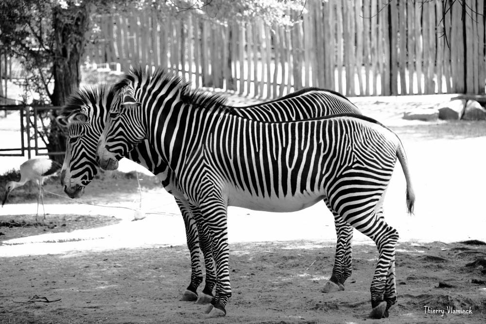 Photo in Animal #zoo #animal #zebra #planckendael #belgium