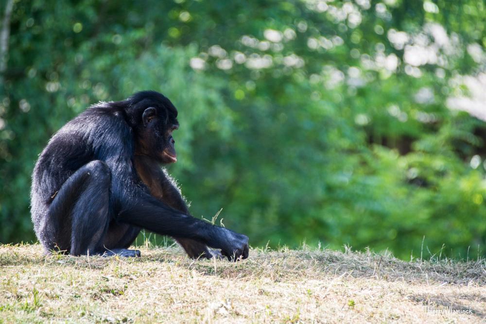 Photo in Animal #animal #zoo #planckendael #belgium #monkey