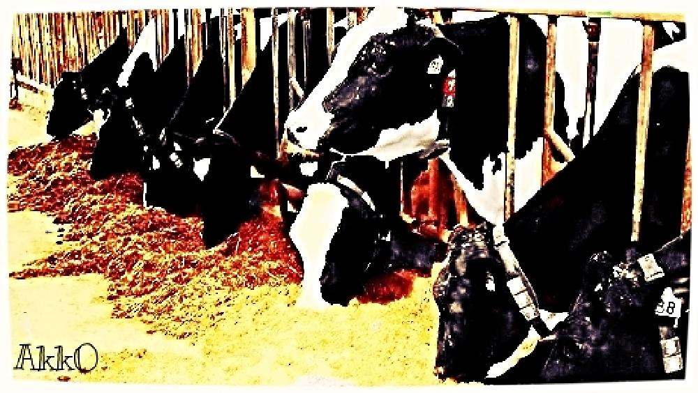Photo in Animal #cows #lunch #barn