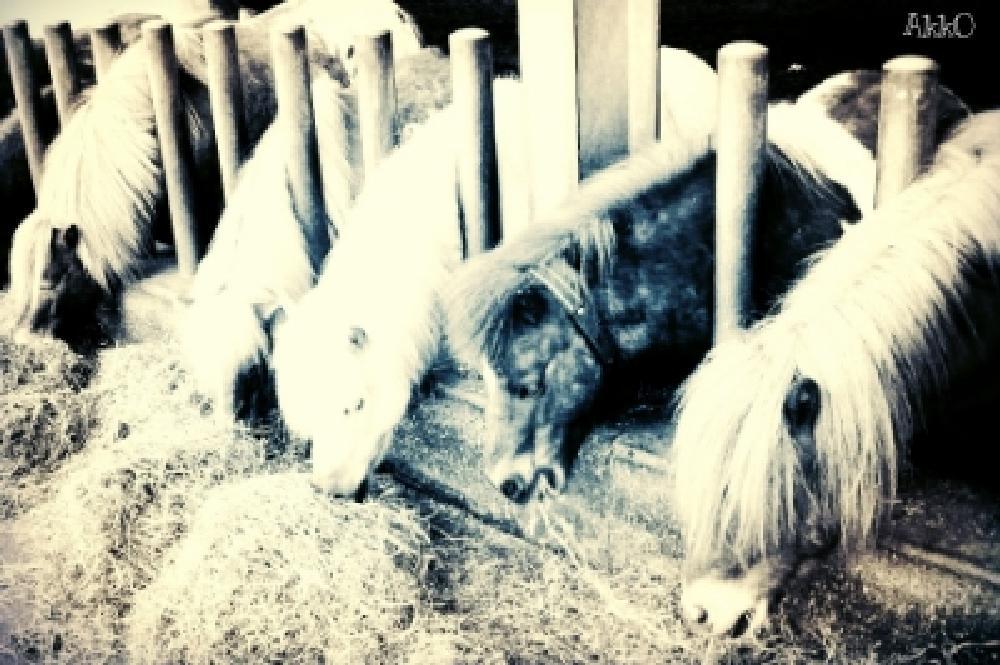 Photo in Black and White #horses #stable #holland #slagharen