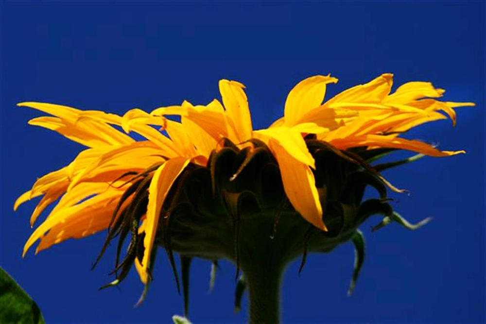 Photo in Nature #giant sunflower #blue sky #california