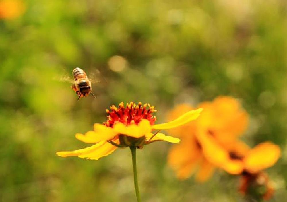 Photo in Landscape #bee #yellow flowers #patch of flowers