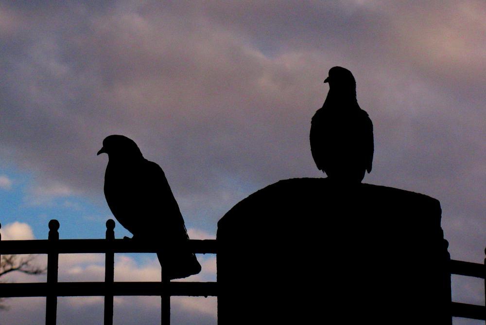 Photo in Animal #bird #pidgeon #animal #sky #contrast