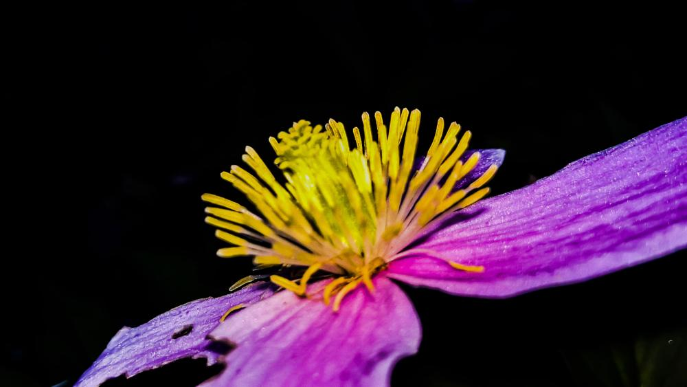 Photo in Nature #pink #yellow #flower #plant #close-up #structured #detailed #nature #dark