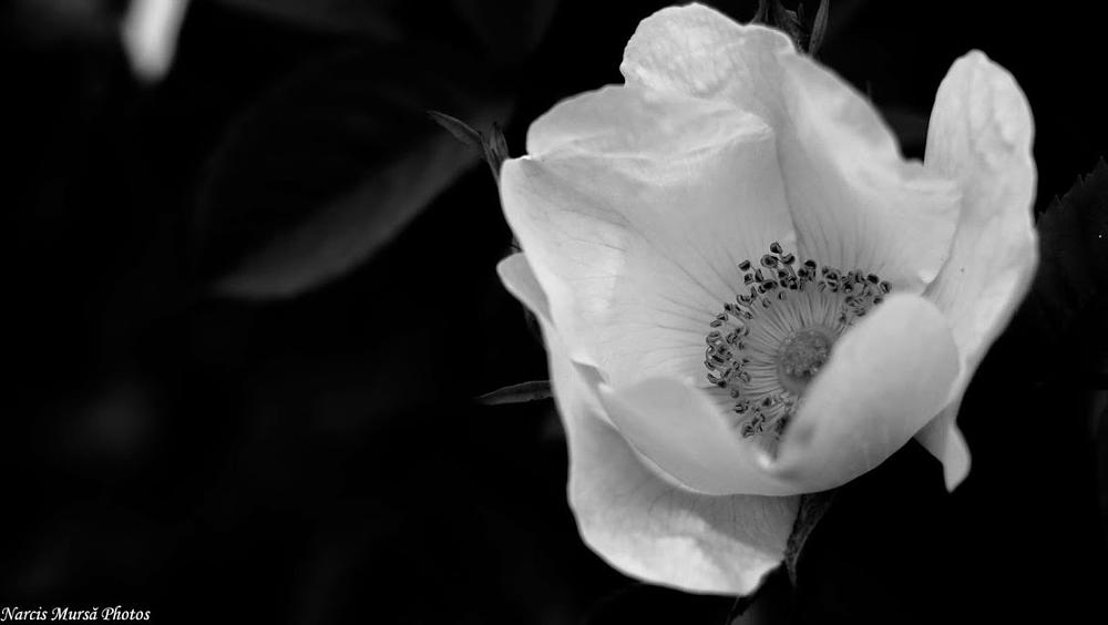 Photo in Black and White #flower #black@white #close-up