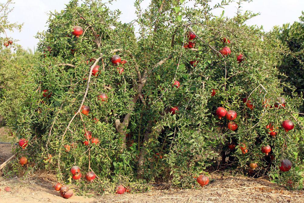 Photo in Random #pomegranate