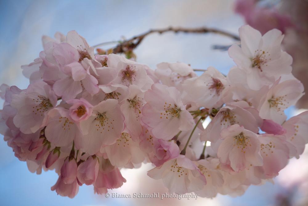 Photo in Random #flowers #flower #chinese blossom #blossom #nature