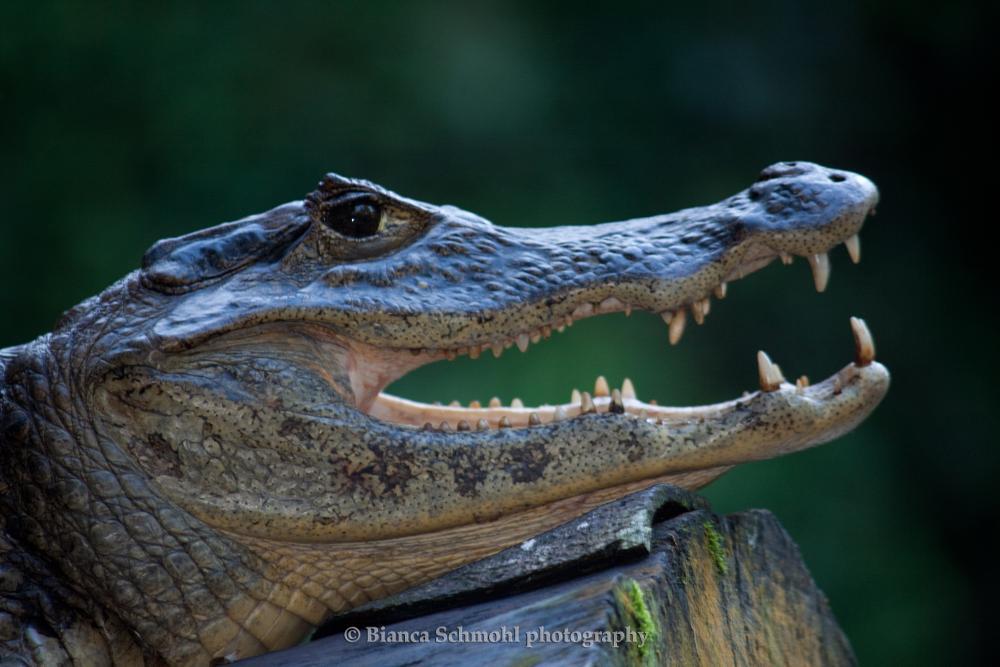 Photo in Animal #alligator #costa rica #travel #photo #animal