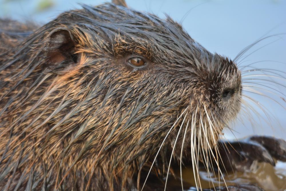 Photo in Nature #musk rat #musk #rat #croatia