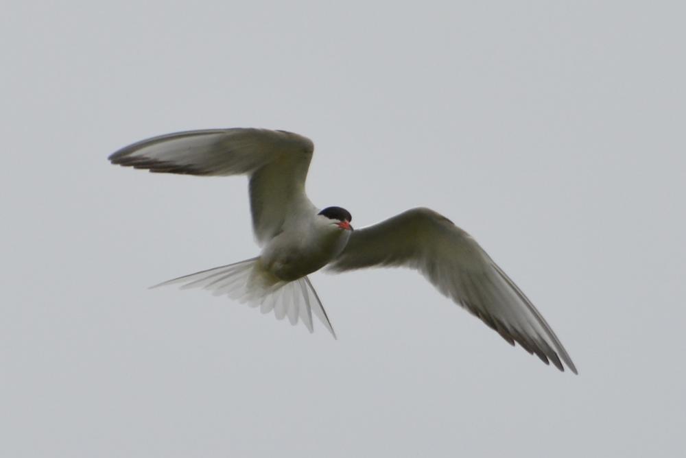 Photo in Nature #common tern #common #tern #bird