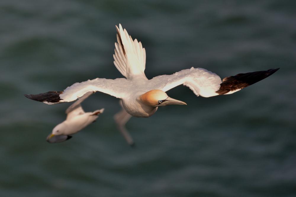 Photo in Nature #gannet #sea #bird #large #wind