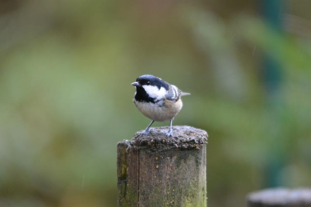 Photo in Animal #coal tit #coal #tit #bird #nikon #sigma