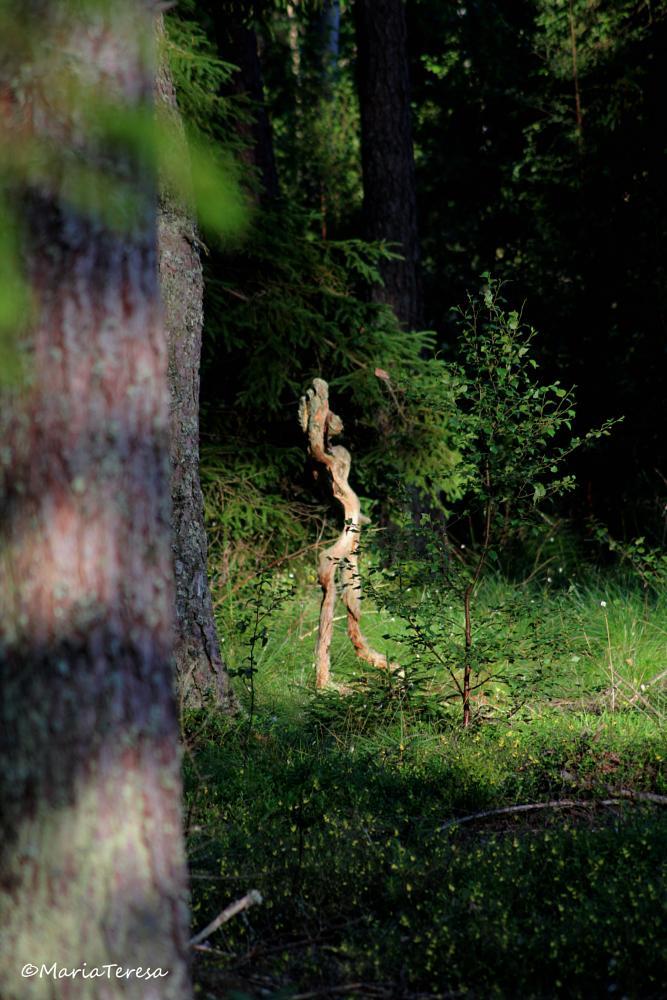 Photo in Nature #skogsrå #pine tree mary #swedish folklore #forrest #strange
