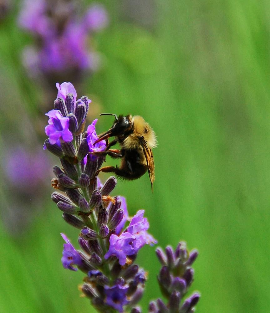 Photo in Nature #lavender #bee #flower #honey