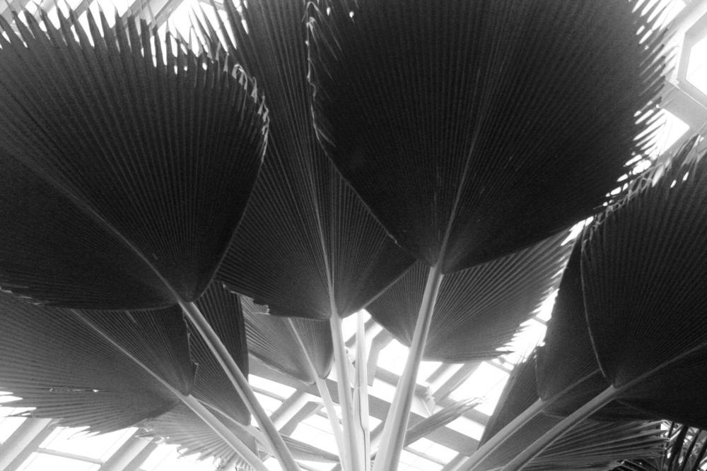 Photo in Black and White #garden #botanical garden #palms #black and white #texture