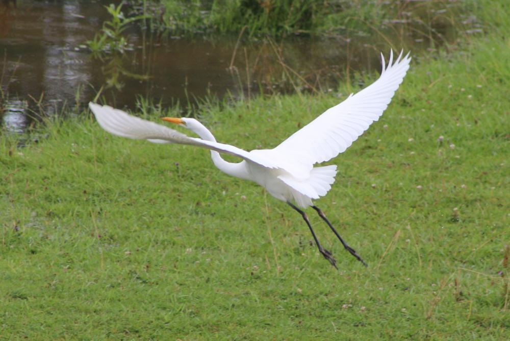 Photo in Animal #egret #bird #flying #nature