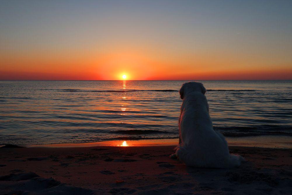 Photo in Nature #golden retriever #sunset #sea #sky #sun #old gold