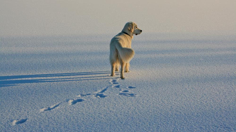 Photo in Animal #winter #frozen lake #snow #ice #golden retriever