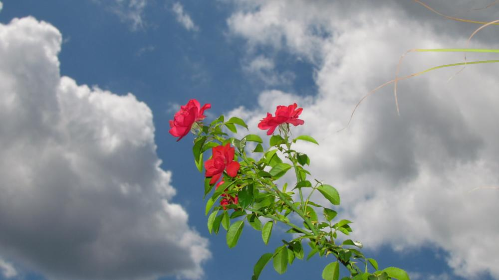 Photo in Nature #nature #plant #rosebush