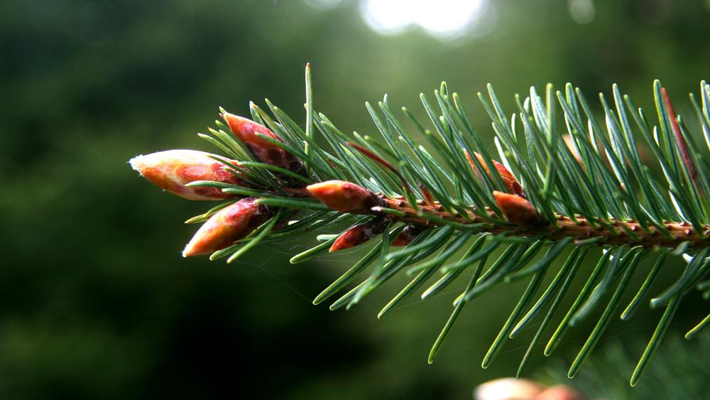 Photo in Still Life #pine #forest #needles