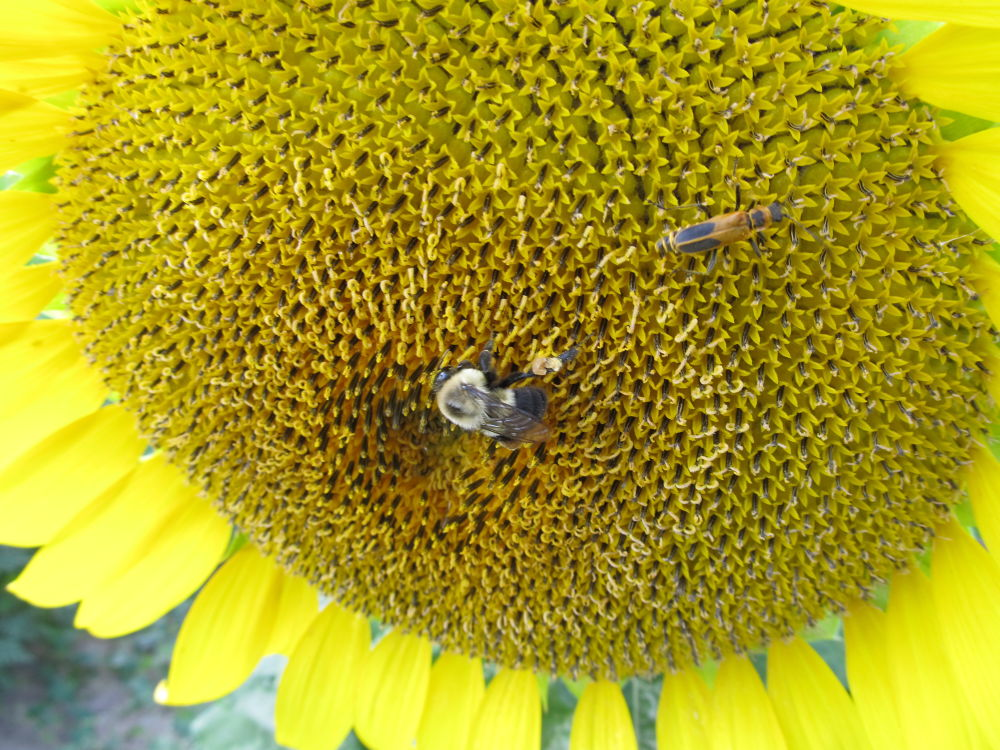 Photo in Random #yellow #bee #insects #sunflower