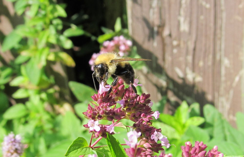 Photo in Nature #bee #back yard