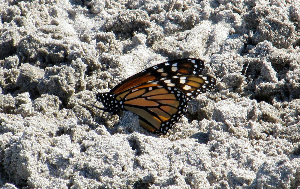 Photo in Nature #sand #butterfly