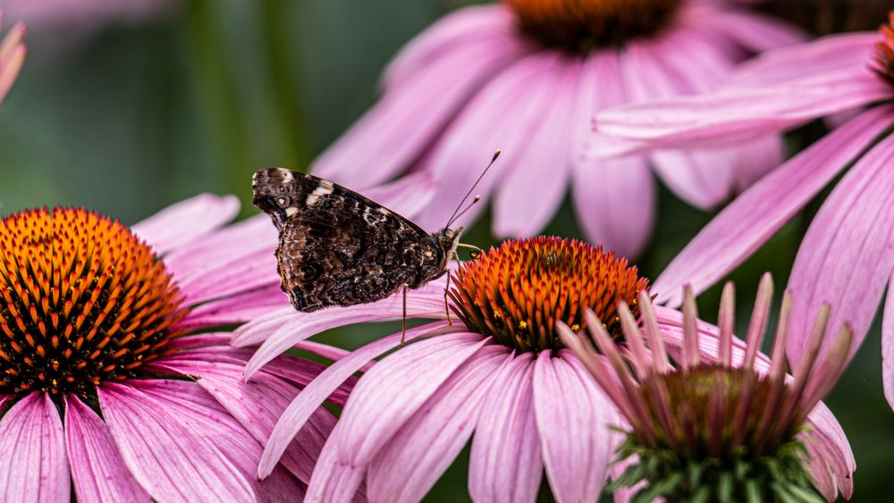 Photo in Nature #macro #butterfly #moth