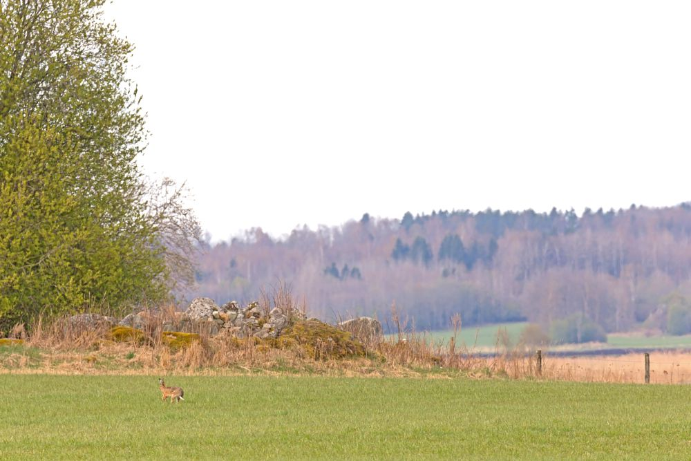 Photo in Animal #hare #rabbit #mammal #nature #landscape #spring #summer #wilderness #wildlife #wild #animal #colors #tree #trees #grass