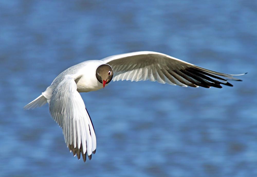 Photo in Animal #bif #birds in flight #action #bps #fps #animal #black headed gull #gull #bird #birds #fly #flying #heaven #sky #nature #bokeh #sharp #capture #wildlife #wilderness
