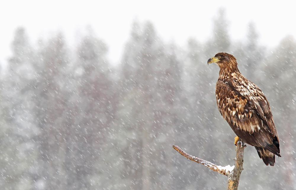 Photo in Animal #eagle #bird of prey #sea eagle #massive #animal #bird #birds #wildlife #wilderness #nature #bokeh #snow #snowstorm #winter #wild #wallpaper
