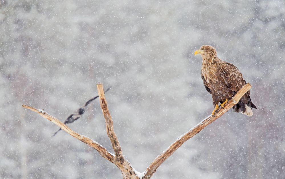 Photo in Animal #eagle #sea eagle #wildlife #bird #birds #nature #tree #trees #forest #wilderness #bokeh #snow #snowstorm #winter