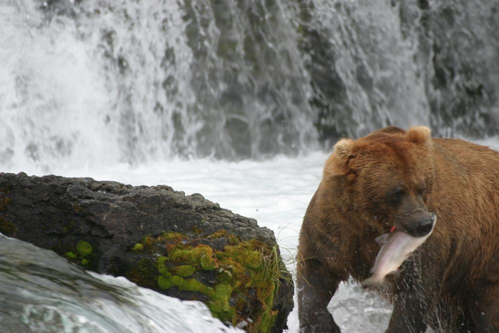 Photo in Nature #alaska #brown bear #eating a sockeye salmon