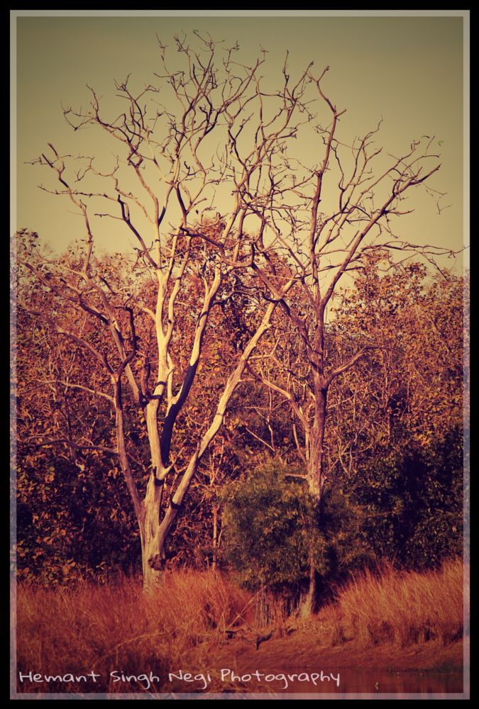 Photo in Nature #hemant singh negi #hemant singh negi photography #tadoba #tree #nature