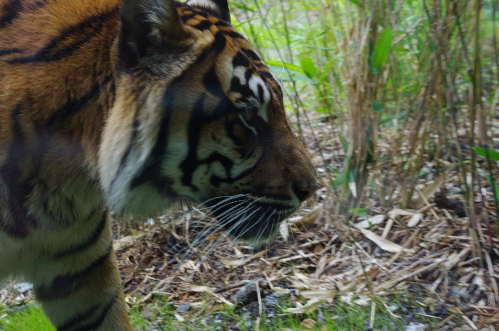 Photo in Animal #tiger #big cat