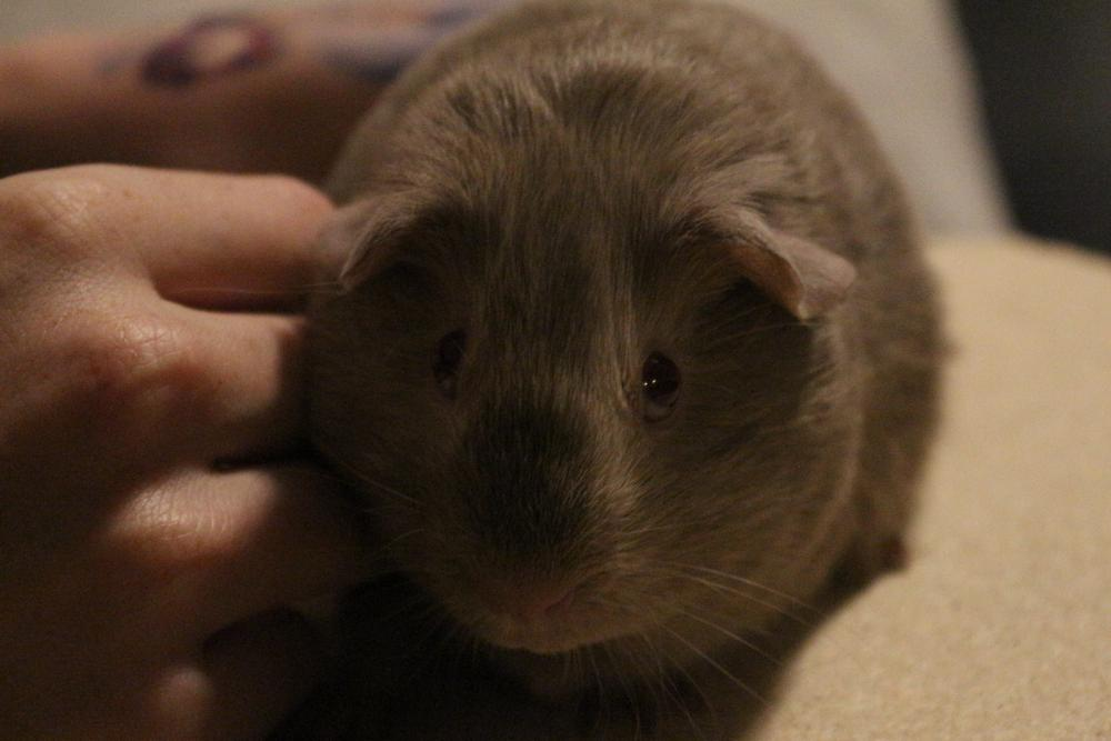 Photo in Animal #guineapig #pets
