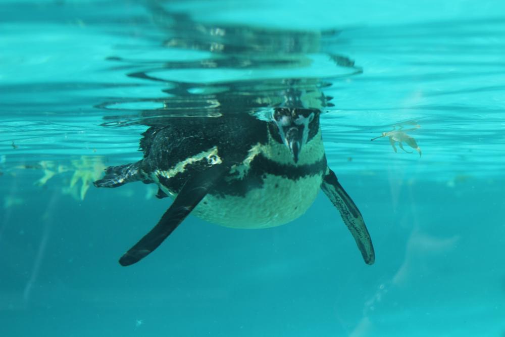 Photo in Animal #penguin #bird #water